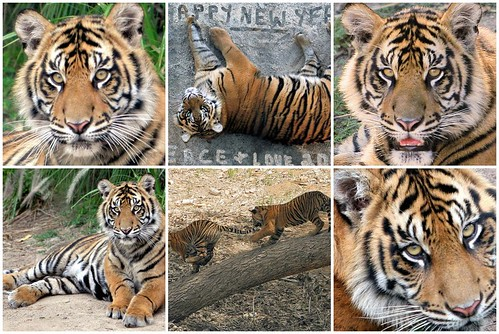 pictures of tigers and cubs. Awesome Tiger cubs find a new