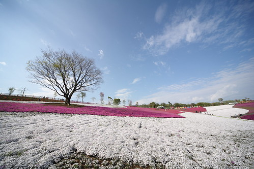 太田の芝桜