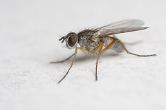 Fairy fly on sunchair (Lord V) Tags: macro bug insect fly portfolio mywinners abigfave diamondclassphotographer theperfectphotographer