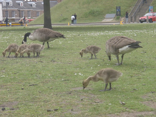 Goslings 3 by Hayzee C, on Flickr