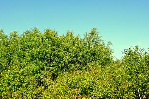 Blätterrauschen wie Meeresbrandung. Flecken Zechlin 1 (10.5.09)