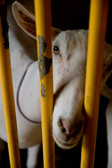 what are you lookin' at? (DanielJames) Tags: ny cute eye animal yellow fence nose bars goat cage syracuse nystatefair