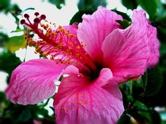 Hibisco rosa...