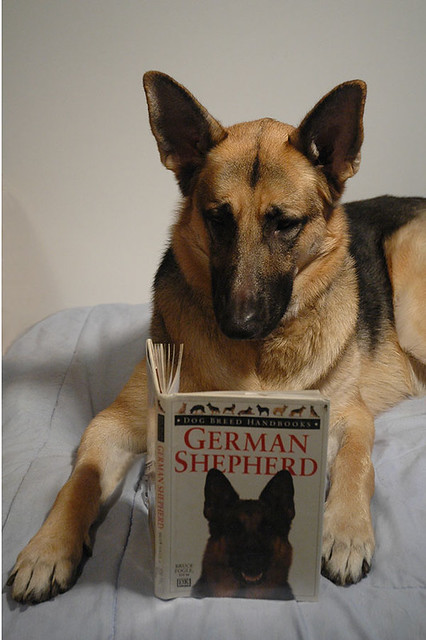 Dog Training for a German Shepherd.  Studying for the Final Exam.