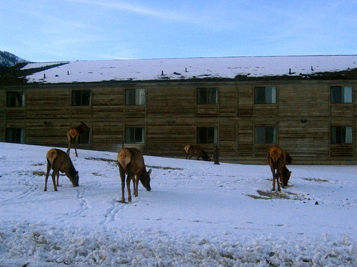 the elk are mooning you!