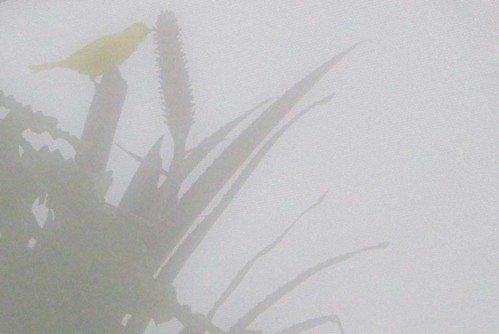 Canary Photographed Through the Mist of Lens Condensation