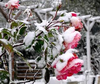 Rosen im Novemberschnee