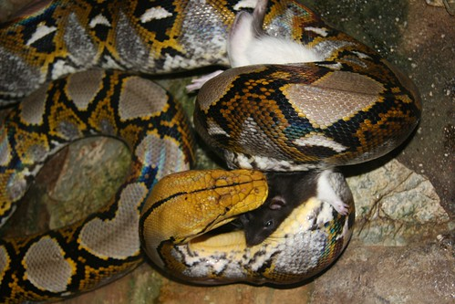 Python reticulatus feeding on rat 2
