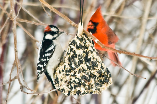 Downy Woodpecker and Northern Cardinal