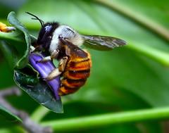 Apidae. (Pablo Leautaud.) Tags: city mxico mexico unam jardinbotanico insecto insecta apidae pleautaud
