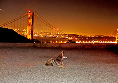 golden coyote (stubbornbeauty) Tags: sanfrancisco coyote animal marin marinheadlands goldengatebridgebridge