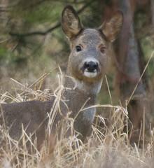 Deer 3 (Sandy Beach Cat) Tags: wood uk tree nature scotland stag wildlife running doe deer lothian rearing