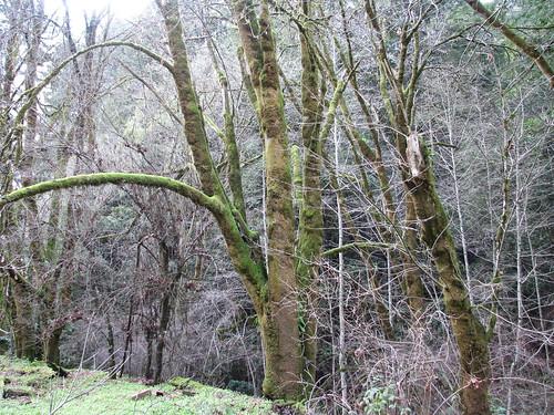 Forest of Nisene Marks, near Santa Cruz (California)