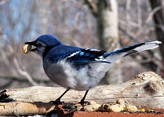 One for the Peanut Gallery (vtpeacenik) Tags: bird vermont bluejay february naturesfinest impressedbeauty superbmasterpiece theperfectphotographer
