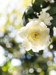 White Camellia (yocca) Tags: light white green topf25 bokeh 100v10f camellia 2008 15faves 10faves feb2008 beautifulbokeh