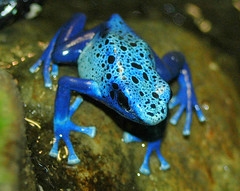 Blue Poison Dart frog (ucumari) Tags: animal zoo march nc nikon north d70s amphibian frog carolina 2008 nczoo bluepoisondartfrog ucumari ucumariphotography yearofthefrog