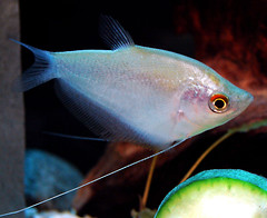 fish tropicalfish moonlightgourami