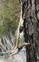 3/08: Lizard!