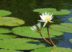 More water Lilies (dongato) Tags: flowers water guatemala waterlilies riodulce