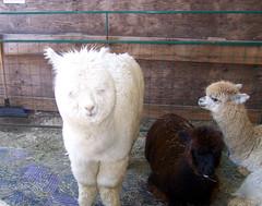 Alpaca_fuzzywhite