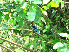 White-throated Kingfisher (H G M) Tags: kingfisher whitethroatedkingfisher halcyonsmyrnensis treekingfisher machranga slbfeeding hgmukhopadhyay