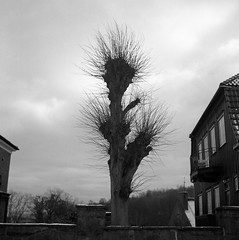 Tree (rotabaga) Tags: sverige sweden svartvitt göteborg gothenburg blackandwhite bw bwfp mediumformat mellanformat ilford 6x6 120 diy r09 lubitel