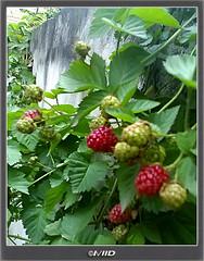 Ready Red ! (I\/IID) Tags: red green leaf raspberry