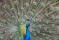 Peacock Display (Marco Boekestijn) Tags: blue green eyes display tail peacock charm peafowl