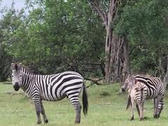 Wild zebras while walking home in Pusanki, Kenya