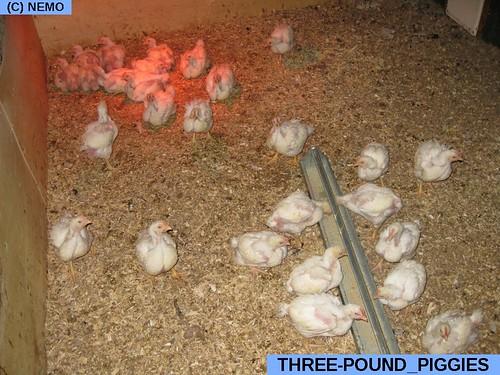 three-pound_piggies