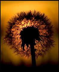 dandelion sunset (Jacob Hnninen) Tags: sunset nikon dandelion autumm creativephotographers jacobhnninen