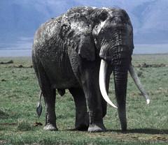 Ngorongoro bull elephant (John Spooner) Tags: africa elephant tanzania wildlife pachyderm safari ngorongoro creativecommons tusk eastafrica bullelephant johnspooner elephantsrhinosgiraffeshippos
