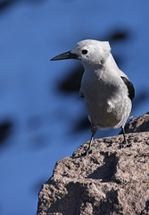 Clark's Nutcracker (4Durt) Tags: bird craterlake clarksnutcracker curttoumanian