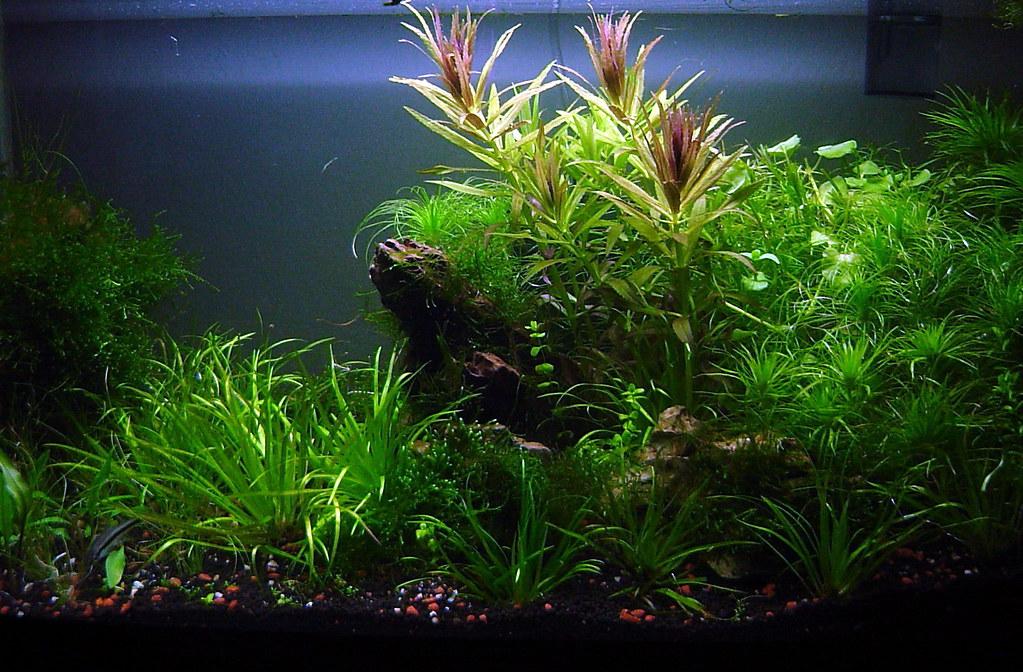 Planted shrimp tank