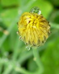 dandelion after rain (Foot Slogger) Tags: flowers reflection green home water yellow drops dandelion waterdrops wowiekazowie