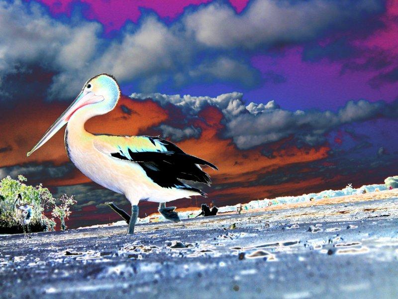 pelican sky small