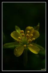 Soft....! (swaheel) Tags: india flower macro art nature beauty yellow canon bokeh kerala powershot stamen s2is pollen swaheel