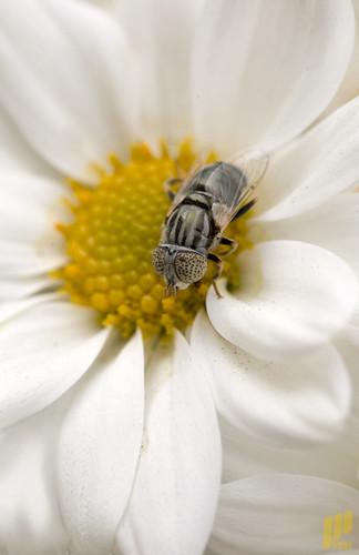 عالم الحشرات - النحــــــــ دورة حياة ـــــــــــــل