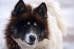 Canadian Eskimo Dog (Rolf Hicker Photography) Tags: world travel dog canada cute dogs animal animals mammal photography tiere photos manitoba churchill cutedogs mammals hudsonbay naturephotography travelphotography canisfamiliaris rolfhicker canadapictures canadaphotography honeymooncanada canadianeskimodog picturesofcanada hickerphotocom
