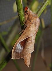 LAS Paralebeda plagifera (hkmoths) Tags: hongkong lepidoptera lasiocampidae insecta lappetmoth lamtsuenvalley paralebedaplagifera hongkongmoths