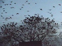 Dawn's Crows