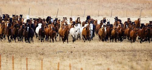 gathering mares 063