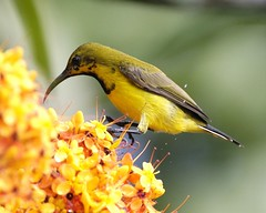Olive-backed Sunbird (Cinnyris jugularis)  eclipse (Lip Kee) Tags: male bird eclipse feeding aves olivebackedsunbird cinnyrisjugularis nectariniajugularis cinnyrisjugularisornatus nectarinadelomoolivo   burungmadukuning staalborsthoningzuiger  kelicapbukit grnrckennektarvogel olivenryggetsolfugl souimangadosvert nettariniaventregiallo