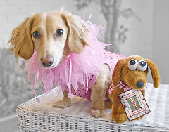 Honey found someone to be her Valentine (Doxieone) Tags: pink red dog cute english photoshop hearts toy interestingness long heart cream valentine dachshund explore honey final blonde exploreinterestingness haired coll 1002 longhaired final1 honeydog topfavorite explored englishcream halloweenfall2008set