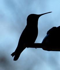 Silhouette of a Hummingbird (jhhwild) Tags: silhouette hummingbird
