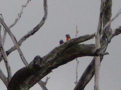 Lorikeets (honeypestypie) Tags: birds lorikeets