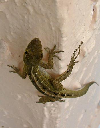 Geckos... PAD #1061