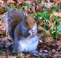 Meet Victor Squirrel - The Copse Champ! (☜✿☞ Bo ☜✿☞) Tags: brown white nature canon grey squirrel eating wildlife naturesfinest 35faves 100comments superaplus aplusphoto favemegroup7 canong9 100commentgroup
