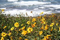 Seaside flowers (wobblyheadedjon) Tags: ocean sandiego pointloma