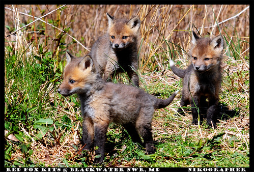 Curious Fox Kits @ Blackwater NWR, MD